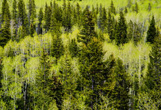 Evergreen Pine & Aspen Trees - Mountain Forest Stock Image