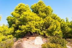 evergreen pine on the seashore royalty free stock image