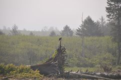 Eagle resting on Driftwood on the seashore at Rialto Beach. Olympic National Park, WA Royalty Free Stock Photography