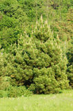 Evergreen pine tree Royalty Free Stock Images