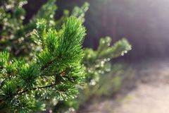 Evergreen pine tree branch in warm morning light. Close-up coniferous tree needle with spider web in sunrise. Beautiful royalty free stock image