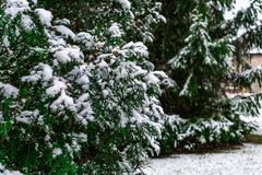 An Evergreen and Pine Tree with Fresh Snow at a Suburban Home royalty free stock images