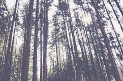 Evergreen pine tree landscape. Evergreen pine trees landscape, morning Stock Photos