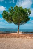 Evergreen pine tree on seaside promenade Royalty Free Stock Images