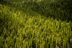 Evergreen Pine Trees - Mountain Forest Stock Photos