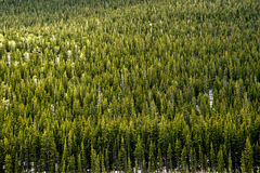 Evergreen Pine Trees - Mountain Forest Royalty Free Stock Photography