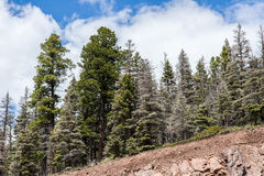 Evergreen Pine Trees under blue sky Stock Photos