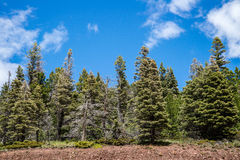 Evergreen Pine Trees under blue sky Stock Image