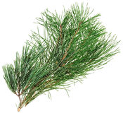 Evergreen pine twig isolated Stock Images