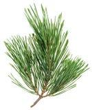 Evergreen pine twig isolated on white Stock Image