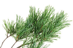 Evergreen pine twig on white Stock Photo