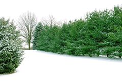 Evergreen Pines in the White Winter Snow Stock Photo