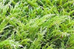 Evergreen plant Stock Photos
