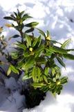 Evergreen plant in snow Stock Photos