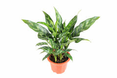 Evergreen plant. With a white background ,rohdea japonica Royalty Free Stock Photography