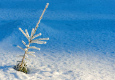 Evergreen plant in winter. With hoarfrost, background in shadow Royalty Free Stock Photo