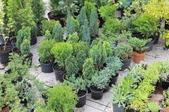 Evergreen plants Stock Photography