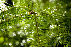Evergreen with rain drops Stock Photo