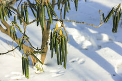 Evergreen Rhododendron catawbiense in winter Stock Images