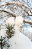 Evergreen sörjer filialen fattar dolt med ren snö Royaltyfri Foto