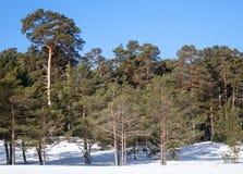 Evergreen sörjer trees i djupfryst vinterskog royaltyfria foton