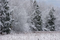 Evergreen's snow covered delight. Stock Image