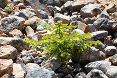 Evergreen Sapling Growing Out of Rocks Royalty Free Stock Images