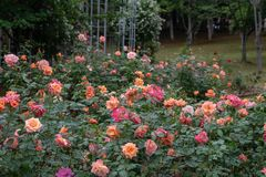 Rose Garden-Rosa chinensis Jacq. Stock Photography