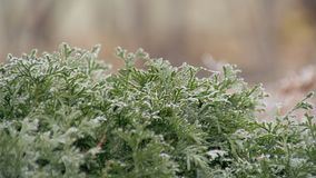 Evergreen shrub of arborvitae covered frost in garden in park of city stock footage