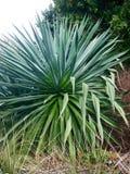 Evergreen shrub plant Stock Photo