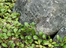 Evergreen shrubbery against granite boulders Royalty Free Stock Photo