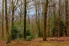 Evergreen shrubs in between trunks of high bare trees in a winter forest in Ardennes. Liege, Belgium Royalty Free Stock Image