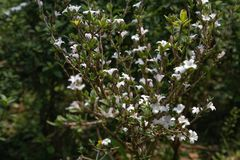 Serissa japonica(Thunb.)Thunb. Evergreen small shrubs of the Rubus family, up to 90 centimeters, with stink. Ye Jizhi, the handle is short. Flowers solitary Royalty Free Stock Photography