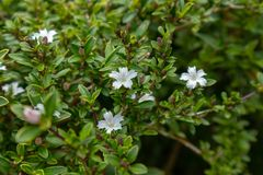 Serissa japonica(Thunb.)Thunb. Evergreen small shrubs of the Rubus family, up to 90 centimeters, with stink. Ye Jizhi, the handle is short. Flowers solitary Stock Photos
