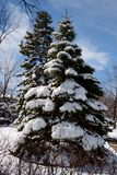 Evergreen and Snow. This is an early Spring picture of evergreen covered with snow from a Spring snowstorm in Villa Park, Illinois.  This picture was taken on Stock Photos