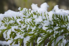EVERGREEN AND SNOWFLAKES. Fluffy snow settled on the evergreen needles with blurred background Stock Photo