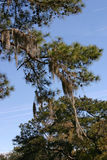 Evergreen with Spanish Moss royalty free stock photos