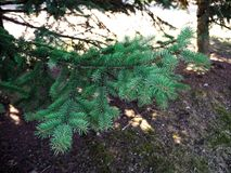 Spruce branch is growing in the forest stock photo