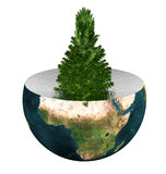 Evergreen spruce on earth Royalty Free Stock Image