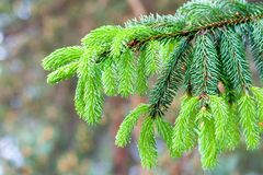 Evergreen spruce paws in the Belarusian forest after the rain royalty free stock photography