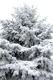 Evergreen spruce with snow on white. Background Stock Photo
