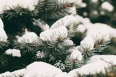Evergreen spruce tree Stock Image