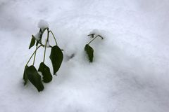 Evergreen subtropical plants at unexpected snow. Climate change, naturally-occurring catastrophic events, evergreen plant Royalty Free Stock Images