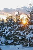 Evergreen Sunset. Sunset over snow-covered evergreen trees Stock Photography