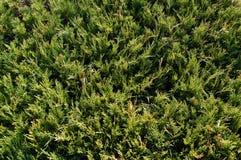 Evergreen texture Royalty Free Stock Photo