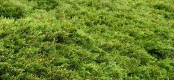Evergreen Texture Stock Image