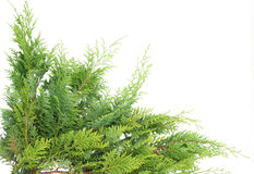 Evergreen thuja. On white  postcard background on white Stock Photography