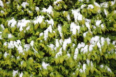 Evergreen thuja hegde background in winter with snow Stock Photography