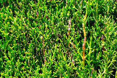 Evergreen thuja tree close up view Stock Photo