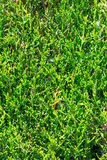 Evergreen thuja tree close up view Stock Photography
